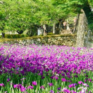 大村公園の花菖蒲