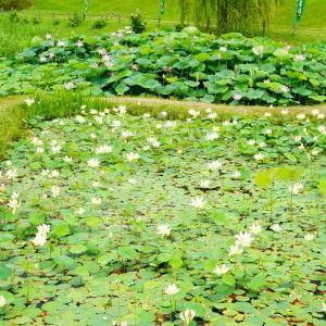 速報…千栗土居公園の蓮の花と大宰府・天拝公園の紫陽花