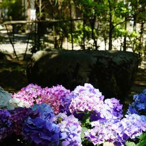 筥崎宮のあじさい苑