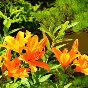 筥崎宮神苑花庭園の百合