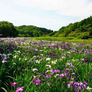 速報…神楽女湖の花菖蒲と志高湖・宝八幡宮のあじさい