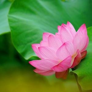 速報…鹿央古代の森・竹下園芸・山ノ頭の蓮の花と青輝園の百合の花