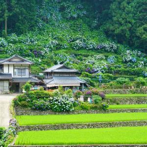 中木庭の棚田とダムの紫陽花