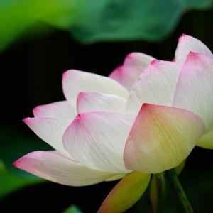 速報…福岡城址のお堀の蓮の花と海中の様子