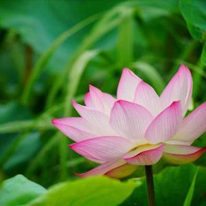 千栗土居公園の蓮の花