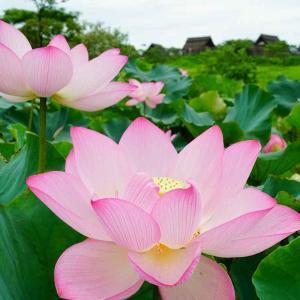 吉野ケ里歴史公園の古代ハス