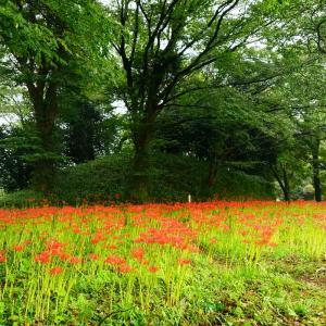 速報…七ツ森古墳・番所の棚田の彼岸花と波野のそば畑