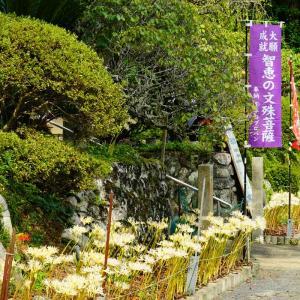 速報…正光寺の白い彼岸花とつづら棚田の彼岸花とちょこっと竹の棚田