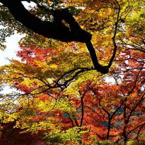 用作公園の紅葉…最後