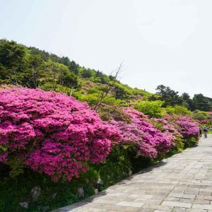 雲仙仁田峠のミヤマキリシマ…続き