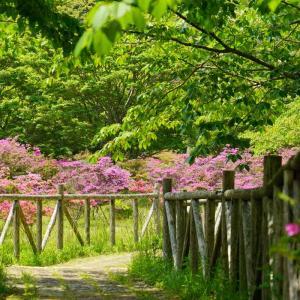 雲仙池の原園地のミヤマキリシマ