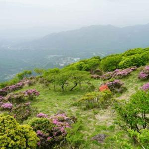 速報…鶴見岳のミヤマキリシマ