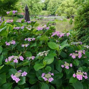 石橋文化センターの紫陽花と花菖蒲
