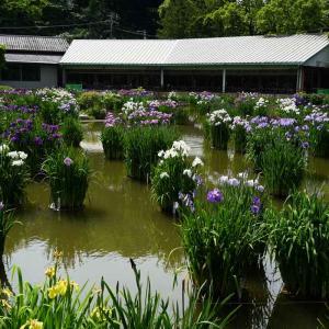 速報…大宰府天満宮の花菖蒲と天拝山歴史自然公園の紫陽花