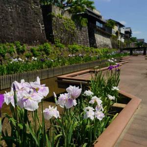 今日も速報…高瀬裏川の花菖蒲