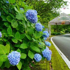 速報…グリーンピア八女と逆瀬ゴットン館の紫陽花