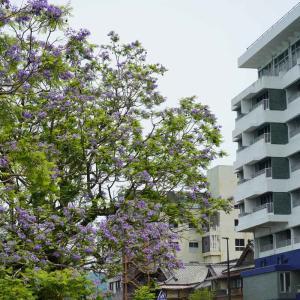 速報…小浜温泉のジャカランダと中木庭ダムの紫陽花