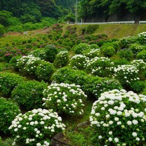 戸田フラワー園とゴットン館の紫陽花