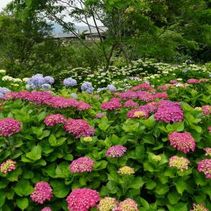 天拝歴史自然公園の紫陽花
