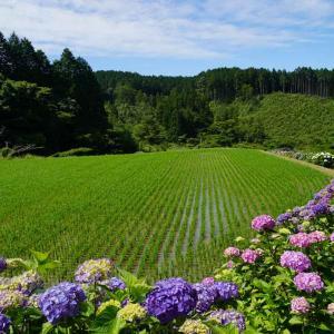 白木地区と高取山公園の紫陽花