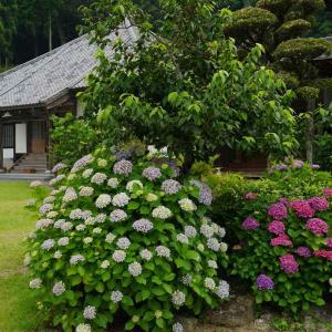 千光寺の紫陽花
