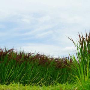 速報…鞠智城の赤米と番所の棚田、おまけに釘の花の滝