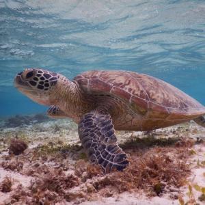 【宮古島をドライブ】綺麗な海を見に行こう(その2)|新城海岸でウミガメと泳ぐ