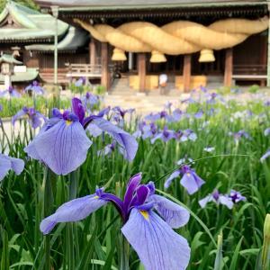 菖蒲まつり@福岡宮地嶽神社