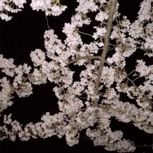 夜桜を見に行ってきました