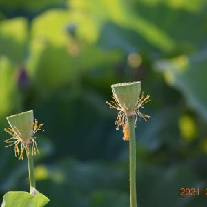 長井市時庭のハス畑が見ごろです♪