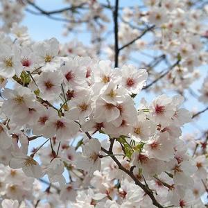 満開の桜2020