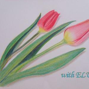 色鉛筆画~はちみつ瓶&チューリップ~