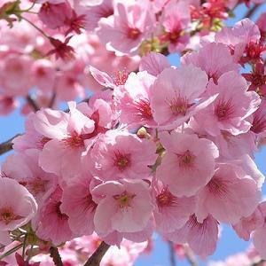 桜~桜~2021