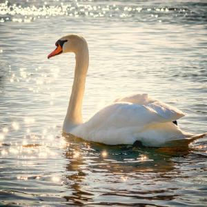 チャイコフスキー バレエ「白鳥の湖」