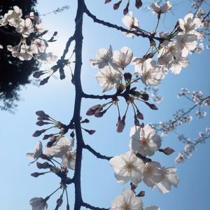 桜がキレイな時だけど週末は大人しくしましょう!