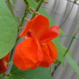 「赤花豆」は優しい花と豆です