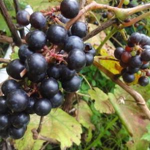 ヤマブドウをどっさりと見つける