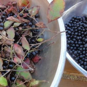 野生果実のナツハゼを収穫する