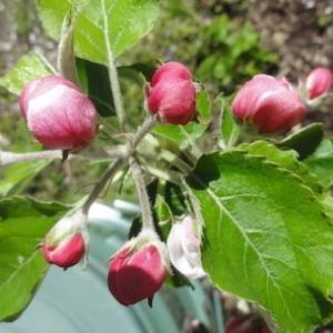リンゴの摘花と摘果