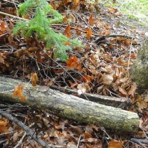 伐採古木の回収