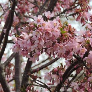 あえなく散った「桜を見る会」だが?