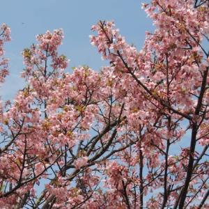 「桜を見る会」に対する検察の本気度は?ーーー桜は咲いてただ散るだけ