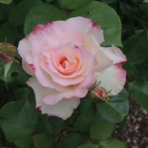薔薇の花の魅力とソーシャルデスタンス