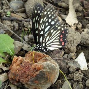 【いつもの公園で】ハナモモの実と蝶