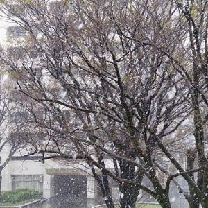 凍えるソメイヨシノ