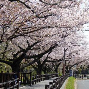 近所の公園de満開の桜