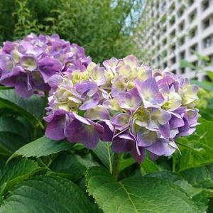 色付く紫陽花と最近のこと