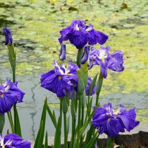 堀切菖蒲園~花菖蒲と池のある風景