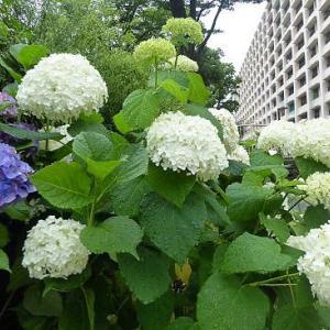 雨に濡れた白い紫陽花