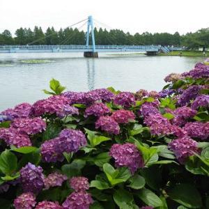 紫陽花と水元大橋